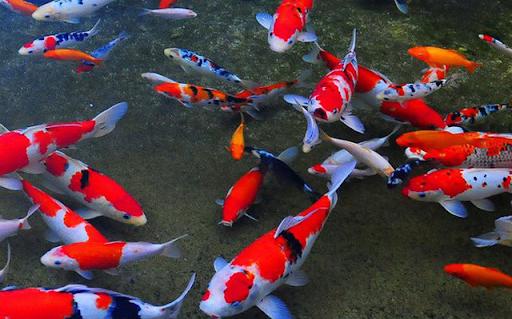 Mơ bắt được nhiều cá Koi